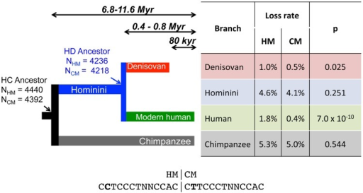 Differential loss of HM motifs across recent human history.The number of intact HM and CM motifs found in the reconstructed sequence (F2 subset) of human and chimpanzee last common ancestor (HC) and in the last human-Denisovan common ancestor (HD) is indicated with a simple arrow. Loss rates of HM and CM motifs are indicated for each branch. HM and CM loss rates were compared with a proportion test (p-value: p). Sequences of both motifs are shown below the tree. Double arrows represent populations divergence times [28], [29].