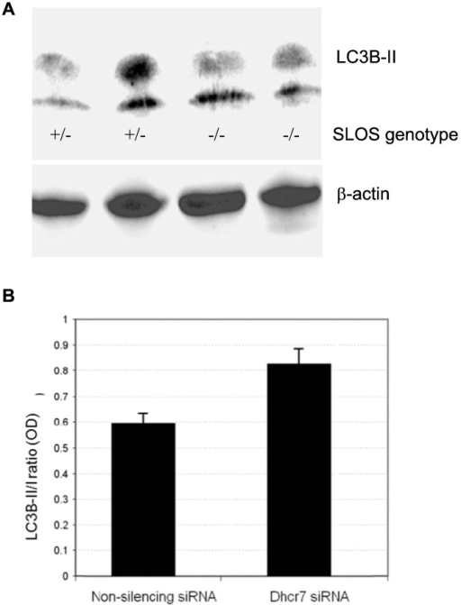 Increased autophagy in cell models on SLOS neurons. (A) Increased expression of LC3B-II in neuronal stem cells obtained from the brains of Dhcr7 knockout mice. Mutational defects of one of the SLOS genotypes (Dhcr7Δ3–05/Δ3–5) were generated in mice using genetic engineering. Whole cell protein extracts from heterozygote (+/−) and homozygote (−/−) cells were subjected to immunoblotting with LC3B-II antibody. (B) Increased LC3B-II in Dhcr7-deficient Neuro2a cells. The cellular 7-DHC was monitored in control Neuro2a (0.21 ± 0.01 ng/μg protein) and in Dhcr7-deficient cells (33.3 ± 6.2 ng/μg protein). Increased LC3B-II in neuroblastoma cells in which Dhcr7 was silenced with siRNA.