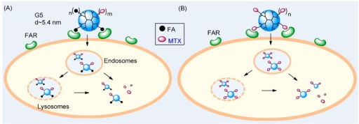 Two strategies for targeted drug delivery to a folate receptor (FAR)-overexpressing tumor cell with a fifth generation (G5) dendrimer NP. (A) A conventional two-molecule approach with G5(FA)n(MTX)m presenting folic acid (FA) as a targeting ligand and carrying methotrexate (MTX) as a drug payload and (B) A dual-acting, single molecule approach with G5(MTX)n presenting MTX as both a targeting ligand and drug payload.