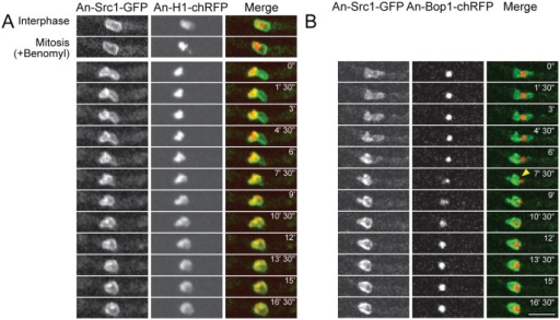 "Src1 preferentially locates around chromatin during mitotic exit in the absence of mitotic spindle function.Cells expressing the indicated pairs of tagged protein were treated with the microtubule poison benomyl and imaged during spindle independent mitotic exit (SIME) [17]. (A) Time-lapse images of Src1-GFP with the DNA marker H1-chRFP during the transition from a SAC imposed mitotic arrest and SIME, the start of which is indicated as time 0. Src1 can be observed to retract from the nuclear region to the right and locate preferentially around the chromatin located in the left side of the nucleus. When this process is completed (time 7'30"") the chromatin begins to undergo decondensation. (B) A similar time course as A but following the nucleolar marker Bop1 and Src1 to show that it is the nucleolus from which Src1 retracts when it preferentially locates to mitotic chromatin during mitotic exit. The arrow at time 7' 30"" indicates completion of the removal of Src1 from around the nucleolus. Scale bar 5μm."