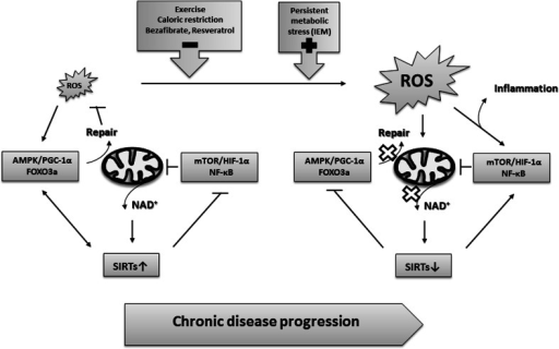 Molecular mechanisms of chronic disease progression in which persistent or increased ROS/damage load and/or decreased levels of NAD+ drive the transition from AMPK/PGC-1α/FOXO3a-linked repair responses towards pro-inflammatory responses controlled by the mTOR/HIF-1α/NF-κB axis. See text for further explanation