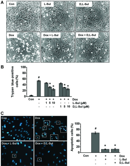 L-sulforaphane (L-Sul) and D,L-sulforaphane (D,L-Sul) protect against doxorubicin (Dox)-induced cell death. (A) H9c2 cells were stimulated with 1 µM Dox or pre-treated with 10 µM L-Sul or D,L-Sul for 2 h and then treated with 1 µM Dox for 24 h. The effects of L-Sul or D,L-Sul on Dox-induced cell death and morphological alterations in the H9c2 cells were observed under a light microscope. (B) Determination of H9c2 cell viability by trypan blue exclusion assay. #P<0.05 vs. controls; *P<0.05 vs. Dox-treated group. (C) Morphological apoptosis was determined by Hoechst 33258 staining under a fluorescence microscope (left panel). Bar graph showing the quantification of apoptotic cells as a percentage of total cells (right panel). White sqaure boxes indicate apoptotic cells. #P<0.05 vs. controls; *P<0.05 vs. Dox-treated group.