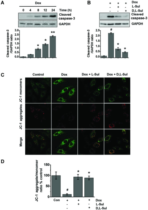 L-sulforaphane (L-Sul) and D,L-sulforaphane (D,L-Sul) prevent the doxorubicin (Dox)-induced activation of caspase-3 and protect against Dox-induced changes in mitochondrial transmembrane potential. (A) H9c2 cells were treated with 1 µM Dox for the indicated periods of time. Cells were lysed and examined for the levels of cleaved caspase-3 by western blot analysis (upper panel). The relative cleaved caspase-3 protein level was normalized to the β-actin level (lower panel). *P<0.05 and **P<0.001 vs. controls. (B) H9c2 cells were pre-treated with 10 µM L-Sul or D,L-Sul for 2 h, and then treated with 1 µM Dox for 24 h. Cells were lysed and examined for the levels of cleaved caspase-3 by western blot analysis (upper panel). Relative cleaved caspase-3 protein levels were normalized to β-actin level (lower panel). #P<0.05 vs. controls; *P<0.05 vs. Dox-treated group. (C) H9c2 cells were stimulated with 1 µM Dox or pre-treated with 10 µM L-Sul or D,L-Sul for 2 h, and then treated with 1 µM Dox for 24 h. Mitochondrial membrane potential was detected by JC-1 fluorescence staining. Specifically, the cells were stained with JC-1 and examined under a fluorescence microscope for the detection of red JC-1 aggregates (590 nm emission) or green JC-1 monomers (527 nm emission). Typical images are shown at ×600 magnification. (D) Quantification of data in (C). #P<0.05 vs. controls; *P<0.05 vs. Dox-treated group.