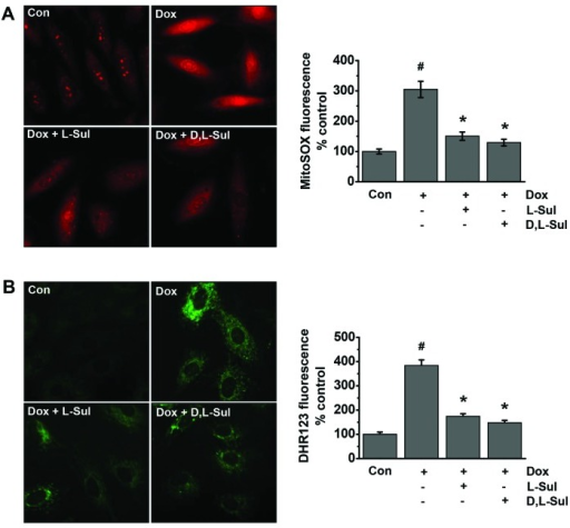 L-sulforaphane (L-Sul) and D,L-sulforaphane (D,L-Sul) reduce the doxorubicin (Dox)-induced generation of mitochondrial reactive oxygen species (ROS) in H9c2 cells. (A) H9c2 cells were treated with 1 µM doxorubicin or pre-treated with 10 µM L-Sul or D,L-Sul for 2 h, and then treated with 1 µM Dox for 24 h. Cells were then analyzed for mitochondrial superoxide generation by fluorescence microscopy using MitoSOX Red. Representative micrographs are shown on the left panel, and quantification plots are shown on the right panel. Results were calculated as a percentage of control in fluorescence intensity compared with the control group. Plots are the means ± SE (n=3). #P<0.05 vs. controls; *P<0.05 vs. Dox-treated group. (B) H9c2 cells were treated with 1 µM Dox or pre-treated with 10 µM L-Sul or D,L-Sul for 2 h, and then treated with 1 µM Dox for 24 h. Cells were then analyzed for mitochondrial peroxynitrite generation by fluorescence microscopy using DHR123. Representative micrographs are shown on the left panel, and quantification plots are shown on the right panel. Results are calculated as a percentage of control in fluorescence intensity compared with the control group. Plots are the means ± SE (n=3). #P<0.05 vs. controls; *P<0.05 vs. Dox-treated group.