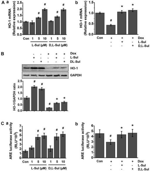 L-sulforaphane (L-Sul) and D,L-sulforaphane (D,L-Sul) activate heme oxygenase-1 (HO-1) through antioxidant-responsive elements (AREs) in H9c2 cells. (A. panel a) H9c2 cells were treated with 10 µM L-Sul or D,L-Sul for 24 h. (Panel b) H9c2 cells were treated with 1 µM doxorubicin (Dox) or pre-treated with 10 µM L-Sul or D,L-Sul for 2 h, and then treated with 1 µM Dox for 24 h. HO-1 mRNA levels were measured by RT-qPCR. #P<0.05 vs. controls; *P<0.05 vs. Dox-treated group. (B) Protein expression of HO-1 and glyceraldehyde 3-phosphate dehydrogenase (GAPDH) was measured by western blot analysis. Densitometric analysis is shown on the lower panel. #P<0.05 vs. controls; *P<0.05 vs. Dox-treated. (C, panel a) H9c2 cells were treated with 10 µM L-Sul or D,L-Sul for 24 h. (Panel b) H9c2 cells were treated with 1 µM Dox or pre-treated with 10 µM L-Sul or D,L-Sul for 2 h, and then treated with 1 µM Dox for 24 h. ARE luciferase activity was measured. #P<0.05 vs. controls; *P<0.05 vs. Dox-treated group.