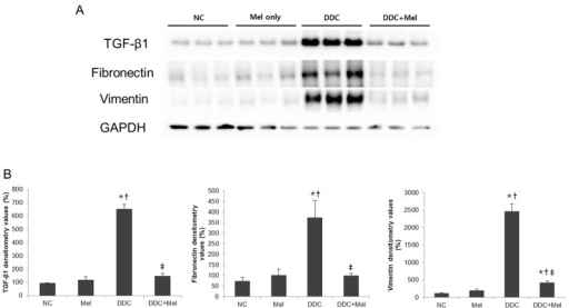 Melittin inhibits fibrosis-related gene expression in DDC-fed mice. (A) Western blotting results demonstrated that melittin effectively suppresses the expression of TGF-β1, fibronectin and vimentin; (B) graphical presentation of the ratio of TGF-β1, fibronectin and vimentin to GAPDH in various groups. NC, normal control group; Mel, melittin (0.1 mg/kg)-treated group with normal diet; DDC, 0.1% DDC-supplemented diet group; DDC + Mel, melittin (0.1 mg/kg)-treated group with 0.1% DDC-supplemented diet. Results are expressed as the mean ± SE of three independent determinations. *p < 0.05 compared to the NC group. †p < 0.05 compared to the Mel group. ‡p < 0.05 compared to the DDC group.