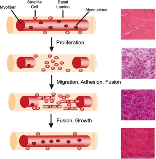 Myofiber structure and cellular progression of myogenesis. Myofibers are surrounded by a basal lamina, underneath which lie satellite cells in close apposition to the myofiber. With injury, satellite cells proliferate and give rise to myoblasts, which differentiate, migrate, adhere, and fuse with one another to form multiple myotubes within the basal lamina scaffold. Myoblasts/myotubes fuse with the stumps of the surviving myofiber and myotubes also fuse with each other to repair the injured myofiber. Regenerated myofibers are identifiable by the presence of centrally located nuclei. Representative hematoxylin and eosin stained muscle cross-sections from chemically injured murine muscles are provided for each stage of muscle regeneration to illustrate the differential tissue morphology.