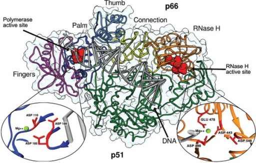 structure of human immunodeficiency virus-1 reverse transcriptase incomplex with DNA [Protein Data Bank code: 1T05 (Tuske et al. 2004)]. The twodomains are the p66 (coloured) and the p51 (green). The polymerase domaindisplays a highly conserved structure that resembles the shape of the humanright hand, consisting of fingers domain (magenta), palm domain (blue), thumbdomain (light blue). The p66 subunit also includes the connection domain(yellow) and ribonuclease H (RNase H) domain (orange). The polymerase activesite is located in the canter of palm, fingers and thumb subdomains. The threecatalytic aspartic acid residues (110, 185 and 186), shown in red, are locatedin the palm subdomain and bind the cofactor divalent ion (Mg2+). The RNase Hdomain is situated at the p66 C-terminus, approximately 60 Å from polymeraseactive site. The RNase H active site contains a DDE motif comprising thecarboxylates residues ASP443, GLU478, ASP498 and ASP549 that can coordinate adivalent Mg2+ ion.