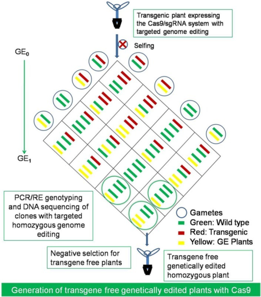The generation of transgene free genetically edited (GE) crops. The transgene free homozygous mutants with desired genetic modifications at the targeted loci and without RGEN transgene construct could be selected by selfing of GE0 generation plants and after segregation of the transgene in the next GE1 generation. The GE plants could be selected by PCR/RE genotyping and DNA sequencing of clones and negatively selecting for the transgene free plants with desired modification in the first generation only.