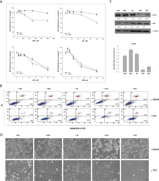 Effect of bioactive compounds on viability in prostate cancer cells. (A) Androgen-sensitive LNCaP and androgen-insensitive PC-3 were exposed to melatonin, silibinin, curcumin or resveratrol and MTT assay was performed after 48 incubation. Data are shown as mean±SEM. of six independent samples. Experiments were repeated at least three times. * p<0.05; ** p<0.01; *** p<0.001 versus CON. (B) Apoptosis was evaluated in LNCaP and PC-3 after 48 h incubation with IC50 of the compounds (1 mM melatonin, 50 µM silibinin, 25 µM curcumin and 50 µM resveratrol), using Annexin V-FITC assay by flow cytometry. (C) LNCaP cells were cultured with or without 1 mM melatonin, 50 µM silibinin, 25 µM curcumin or 50 µM resveratrol for 48 h. BCL-2 and BAX protein levels were assessed by western blot. GAPDH and β-Actin were employed as loading control. (D) Changes in cell morphology were examined under a phase contrast microscope with a 200× magnification and photographed (scale bar, 25 µm).
