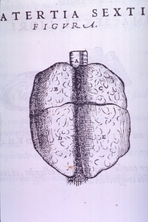 <p>Posterior view of the lungs and trachea.</p>
