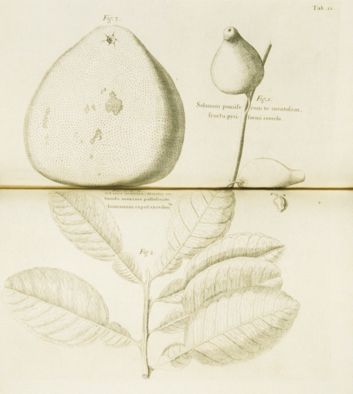 <p>Illustration of the fruit and seeds of a solanum plant.</p>