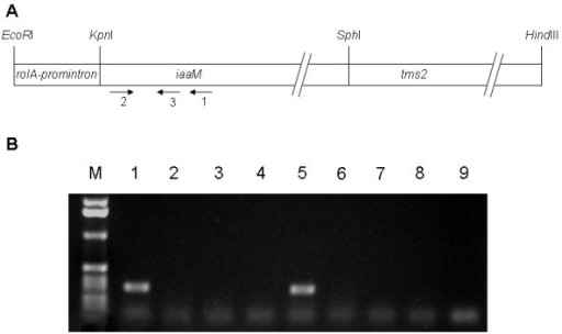 Expression of rolAp-iaaMtms2 construct in indeterminate root nodules. A. Schematic drawing of the chimeric operon. Restriction endonuclease sites used for chimeric operon construction are reported. B. Agarose gel electrophoresis of RT-PCR product obtained from total RNA extracted from nodules (lanes 1 and 5) formed by S. meliloti IAA strain in M. truncatula and M. sativa, respectively. Lanes 3 and 7, RT-PCR performed on total RNA extracted from nodules induced by the control strain in M. truncatula and M. sativa, respectively. Lanes 2 and 4, RNA from nodules of M. truncatula induced by IAA and control strain, amplified without reverse transcriptase; lanes 6 and 8, RNA from nodules of M. sativa induced by IAA and control strain, amplified without reverse transcriptase. Lane 9, no-template control. The position of the primers used in RT-PCR analysis is indicated by arrows in the schematic drawing reported in panel A.