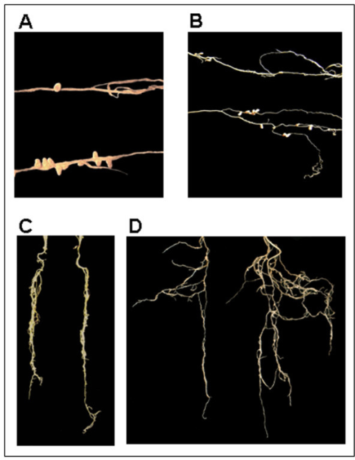 Phenotypes of M. truncatula and M. sativa plants nodulated with S. meliloti IAA or control strain. A. M. truncatula root nodules: nodules induced by S. meliloti IAA strain (bottom) and nodules induced by the S. meliloti control strain (top). B. M. sativa root nodules: nodules induced by the S. meliloti IAA strain (bottom) and nodules induced by S. meliloti control strain (top). C. M. truncatula roots of plants nodulated by the IAA strain (right) and roots of plants nodulated by the control strain (left) D. M. sativa roots of plants nodulated by the IAA strain (right) and roots of plants nodulated by the control strain (left).