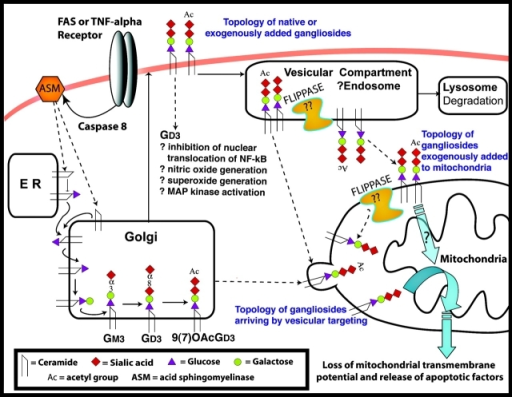 Subcellular compartments potentially involved in the biosynthesis, trafficking, and turnover of GD3 and AcGD3 are shown. Complexities involving 7- versus 9-AcGD3, and the possible action of O-acetylesterases are omitted. Various pathways for GD3-induced apoptosis are indicated, especially in relation to the proposed production and translocation of GD3 to mitochondrial membranes. Some of the unresolved topological issues are emphasized. Topological issues regarding ASM are not shown. See text for further discussion.