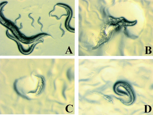 "Loss of function phenotypes of Ce-Duox1 resulting from RNAi. (A) Wild-type animals showing normal morphology and sigmoidal shape. (B) Mutant animal showing a large blister and defect in movement evidenced by local expulsion of eggs and local clearing of bacteria near the anterior of the worm. (C) Mutant worm showing a ""dumpy""-like phenotype and local clearing of the bacterial lawn. (D) Mutant worm on left demonstrating translucent appearance compared with wild-type worm on right. Duox1 dsRNA was injected into N2 hermaphrodites in six independent experiments. In each, although the resulting phenotypes showed a range of severities the phenotypes were identical."