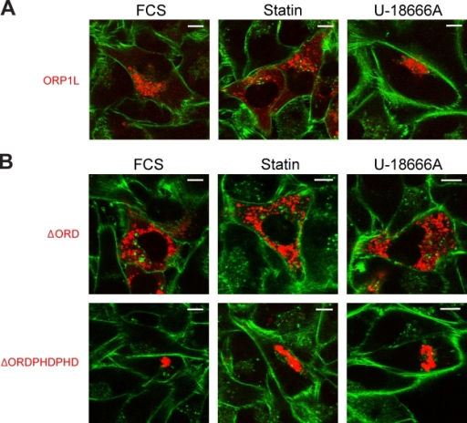 ORP1L controls cholesterol-dependent LE positioning. (A) Cholesterol-dependent ORP1L vesicle positioning. Mel JuSo cells expressing mRFP-ORP1L were cultured under control conditions (FCS) or conditions causing decreased (statin) or increased (U-18666A) cholesterol levels. Actin was stained with falloidin (green) to mark the cell boundaries before analyses by CLSM. n > 100. (B) ORP1L is dominant in vesicle repositioning as the result of cholesterol manipulations. Mel JuSo cells expressing mRFP-ΔORDPHDPHD or mRFP-ΔORD were treated and imaged as described in A. n > 100. Bars, 10 µm.