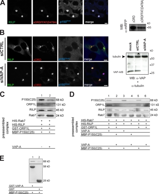 ORP1L requires VAP-A to remove p150Glued from Rab7–RILP. (A) Effect of the FFAT motif in ΔORD on RILP-mediated p150Glued recruitment. (left) Mel JuSo cells were transfected with GFP-RILP and mRFP-ΔORD containing a point mutation in its FFAT motif, ΔORDFFAT(D478A). Fixed cells were stained with anti-p150Glued antibodies. n > 200. (right) Mel JuSo cells were transfected with the mRFP-ΔORD or mRFP-ΔORDFFAT(D478A) constructs, and whole cell lysates were analyzed by immunoblotting with anti-mRFP antibodies (WB: α-mRFP). (B) p150Glued exclusion by ΔORD and VAP-A. VAP-A was silenced by siRNA (siVAP-A) in cells expressing GFP-RILP and mRFP-ΔORD. (left) Cells stained for p150Glued. Pixel analyses are shown in Fig. S2 E. n > 100 for each condition. (right) Western blot analysis of cells transfected with transfection reagent (mock), control (siCTRL), or VAP-A siRNA (siVAP-A) and probed for α-tubulin (as loading control) and anti–VAP-A antibodies. (C) VAP-A removes p150Glued from Rab7–RILP. GTP-locked His-Rab7(Q67L) was GTP loaded and coupled to Talon beads before adding purified RILP, ORP1L, and p150Glued(C25) fragments in equimolar amounts to form a preassembled ORP1L–Rab7–RILP–p150Glued(C25) complex. Subsequently, the complex was incubated in the presence or absence of purified VAP-A. After washing, the bead-bound proteins were analyzed by SDS-PAGE and Western blotting. (D) ORP1L requirements for p150Glued removal by VAP-A. GTP-loaded His-Rab7(Q67L) was coupled to Talon Co2+ beads before adding the isolated proteins indicated in equimolar amounts to form a preassembled complex. After washing, these complexes were exposed to isolated VAP-A or the p150Glued(C25) fragment, as indicated, and the effects on the preformed complex were assessed by SDS-PAGE and Western blot analyses with antibodies, as indicated. (E) VAP-A interacts with p150Glued. GST or GST–VAP-A was coupled to beads before exposure to the p150Glued(C25) fragment. After washing, the complexes were analyzed by SDS-PAGE and Western blotting. (A–E) Molecular masses are indicated. WB, Western blot. Bars, 10 µm.