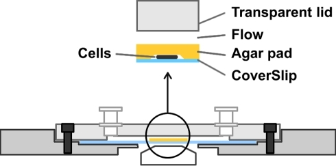 Layout of the microfluidic device.Cells are confined between the coverslip and a 0.5 mm thin layer of agar. The chamber is sealed with a transparent lid containing two entries allowing flow injections. Injected molecules reach the biological specimen by diffusion through the thin layer of agar.