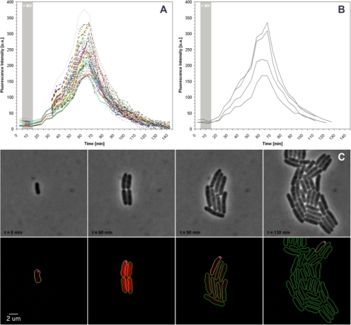 SodA-mcherry induction in cells containing inclusion bodies during MV injection.A) Measurement of SodA induction after Methyl Viologen injection and removal (indicated as grey shade) in cells carrying the SodA-mcherry fusion. Each colored curve represents the kinetics of expression of a given single cell B) Measurement of SodA induction in cells that carry polar foci of the protein aggregation marker IbpA-YFP. C) Sequence of images showing several rounds of cell division from a single mother cell carrying a polar IbpA-YFP polar focus; Top: phase images. Bottom: overlay of YFP (magenta) and mCherry fluorescent signals. Cell contours retrieved by the annotation software are added for clarity (yellow cells containing IbpA-YFP clusters and green cells not containing the clusters).