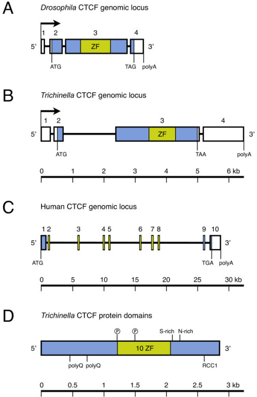 Conserved genomic organisation of invertebrate CTCFs. A, B, C: Genomic CTCF loci of vertebrates, Drosophila [19] and Trichinella, drawn to scale. Transcription start (arrow), transcription end (polyA), translation start (ATG) and stop (TAA, TAG, TGA), exons (box), introns (line), protein coding region (shaded), and zinc finger region (light green) are indicated. To illustrate the structure of vertebrate CTCFs, human CTCF is depicted (accession number NT_010498). D: Domain organisation of tsCTCF. Ⓟ: Predicted Tyrosine phosphorylation site, polyQ: poly-Glutamine tract, S-rich: Serine-rich region, N-rich: Asparagine-rich region, RCC1: RCC1 chromatin binding motif, ZF: Zinc finger region. Predicted N-glycosylation, N-myristoylation and most phosphorylation sites are not shown.