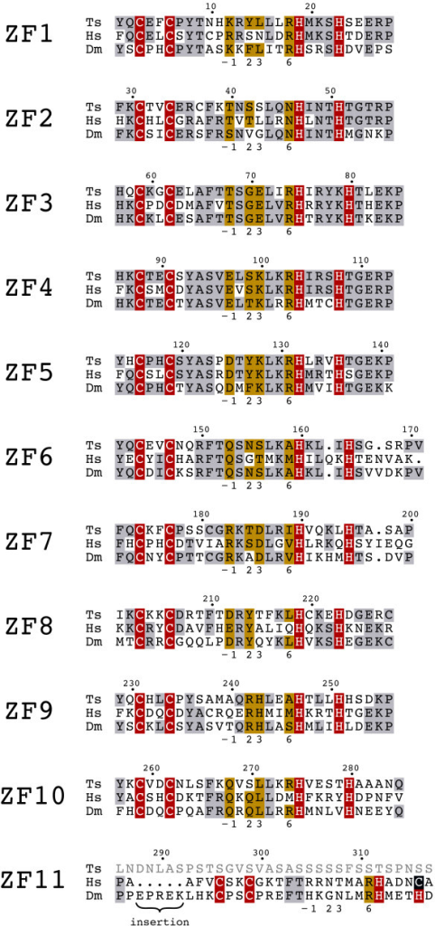 Conserved zinc finger region of tsCTCF. Multiple sequence alignment of the ZF domains of T. spiralis, human, and D. melanogaster CTCF. Similar and identical residues (grey), zinc coordinating residues (red, blue), and identical residues for DNA recognition (yellow) are indicated. ZF11 is missing in T. spiralis and is less conserved between D. melanogaster and man than ZF1 – 10.