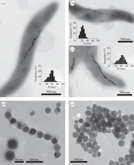 TEM micrographs and particle size distribution of magnetite particles in magnetotactic bacteria: (a) MSR-1, (b) ΔmamGFDC and (c) AMB-1 cell (scale bar, 500 nm). (d) and (e) show, respectively, isolated magnetosomes from MSR-1 with membrane, as highlighted in the inset (scale bar, 50 nm) and without membrane (scale bar, 50 nm). Both samples were stained with uranyl acetate prior measurement.