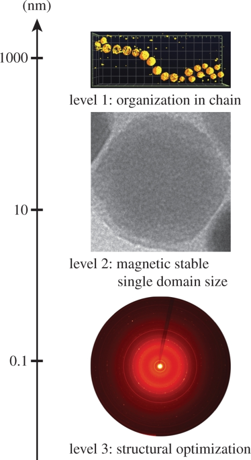 Overview of the different levels of hierarchy encountered in magnetotactic bacteria with respect to their length scale. Level 1: electron tomography reconstruction of a MSR-1 magnetosome chain of about 1 µm length. Level 2: TEM image of an isolated MSR-1 magnetosome, the width of the image represents 50 nm. Level 3: two-dimensional diffractogram of whole cells AMB-1, the lattice parameter is optimized at a sub-nanometre scale. This final new level was identified in this study.