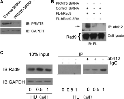 Knock down of PRMT5 influences the arginine methylation of hRad9. (A) PRMT5 is knocked down in HCT 116 cells transiently expressing PRMT5 ShRNA. Levels of PRMT5 and GAPDH were assayed in HCT116 cells expressing PRMT5 ShRNA or control ShRNA. (B) Knockdown of PRMT5 reduces the arginine methylation of hRad9. HCT116 cells expressing PRMT5 ShRNA or control ShRNA were transfected with pFLAG-CMV2-hRad9 and arginine methylation of hRad9 was detected in these cells. HCT116 cells expressing FL-hRad9-3RA were used as a negative control. (C) Methylation of hRad9 is DNA damage dependent. HeLa cells were mock treated or treated with 0.5 mM or 1 mM HU for 24 h. Ten percent cells were lysed as input, the rest cells were lysed and immunoprecipitated with ab412 antibody and then immunoblotted with anti-hRad9 monoclonal antibody.