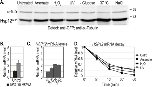 Induction of Hsp12 protein and mRNA, and mRNA decay after stress.A. WB of protein produced from genomic HSP12-GFP in response to stress. B. UFO1 and HSP12 mRNA levels in untreated cells analyzed by qRT-PCR. mRNA levels were normalized to ACT1. C. Induction of HSP12 mRNA by stress. Wild type cells at A600 = 0.5, treated with 1 mM arsenate, 8.8 mM H2O2, irradiated with 40 mJ/cm2 UV or shifted from 30°C to 37°C for 40 minutes. Aliquots were collected at the times indicated and analyzed by qRT-PCR. D. HSP12 mRNA decay. pGAL-HSP12 was expressed in hsp12Δ mutants by overnight induction with 2% galactose. Next morning cells at A600 = 0.5 were untreated, or stressed with 1 mM arsenate or 8.8 mM H2O2 for 30 minutes, or irradiated with 40 mJ/cm2 UV. The cells were washed and transferred to SC medium with 4% glucose. Samples were collected immediately after addition of glucose and at the times indicated and analyzed by qRT-PCR. mRNA levels were normalized to ACT1 and to time 0 (untreated log cells).