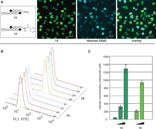Quantitative fluorescence analysis of β-turn substitution on Py–Im polyamide nuclear uptake. (A) Nuclear localization of β-aryl polyamide 13, as verified by colocalization with Hoechst 33342. (B) Influence of incubation time on fluorescence for A549 cells treated with 100 nM polyamide 13 or 14. X-axis: relative median fluorescence (FL1: FITC channel); Y-axis: hours of polyamide treatment. (C) Influence of dosage concentration on nuclear accumulation of polyamides. Polyamide 13 concentration: 100, 1000, 10 000 nM. Polyamide 14 concentration: 100, 1000 nM.