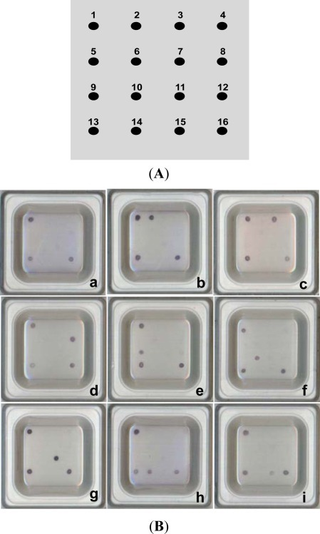 Hybridization and colorization diagram for fish pathogen probes. (A) Microarray map. Dots indicate the spotted position of each probe. 1: EV71 (positive control for hybridization); 2: Aehy; 3: Edta; 4: poly(A) (negative control); 5, 6 & 7: blank, with no spotted probes; 8: Flco; 9: Laga; 10: Vian; 11: Phda; 12: blank; 13: U735 (positive control for PCR); 14: Psan; 15: Stin; 16: U1352 (positive control for PCR). (B) Detection and typing results on the microarray. a: Positive and negative controls on corners; b: A. hydrophila; c: E. tarda; d: F. columnare; e: L. garvieae; f: V. anguillarum; g: P. damselae; h: P. anguilliseptica; i: S. iniae.