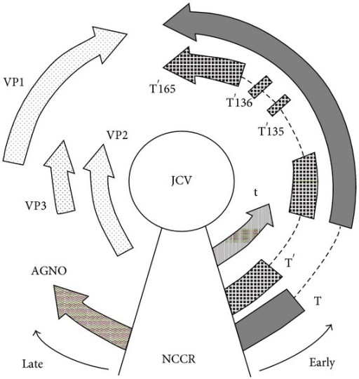 Schematic representation of the JCV genome organization. The circular, double-stranded DNA genome is ~5.2 kb in size and is divided into the early coding region and the late coding region, transcribed in opposite directions from a common noncoding control region (NCCR). Early genes include large T antigen (T-Ag), small t antigen (t-Ag), T′135, T′136, and T′165. Late genes include VP1, VP2, VP3, and agnoprotein.