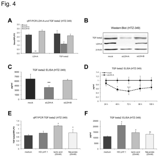 Lactate regulates TGF-beta2 protein.Specific siRNA against LDH-A was used to reduce extracellular lactate levels and to investigate consecutive changes in TGF-beta2 expression. siLDH-A reduces LDH-A (p < 0.01**) and TGF-beta2 (p< 0.05*) mRNA expression significantly 72 hours after treatment (A). In TGF-beta2 Western Blot (B) and ELISAs (C, D) siLDH-A reduces TGF-beta2 protein expression with a maximum reduction 72 hours after treatment (p< 0.001***). Results were normalized to control. Treatment with 20 mM lactic acid (pH 7.1) as well as 20 mM sodium lactate (pH 7.4) increases TGF-beta2 mRNA (E). Expression of TGF-beta2 protein 24 hours after treatment is significantly increased by lactic acid, lactate and HCl (F, lactic acid p < 0.05*; sodium lactate p < 0.01**, HCl p < 0.05*).