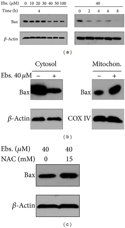 Bax translocation to mitochondria from cytoplasm after being treated with ebselen is determined by Western blot. (a) Ebselen decrased Bax level in cytoplasm in a concentration and time dependent manner. (b) Mitochondria Bax level increased and cytoplasmic Bax level decreased in MM cells treated with ebselen 40 μM for 4 hours. (c) The decreasing of cytoplasmic Bax level can be recovered partially by 15 mM NAC.