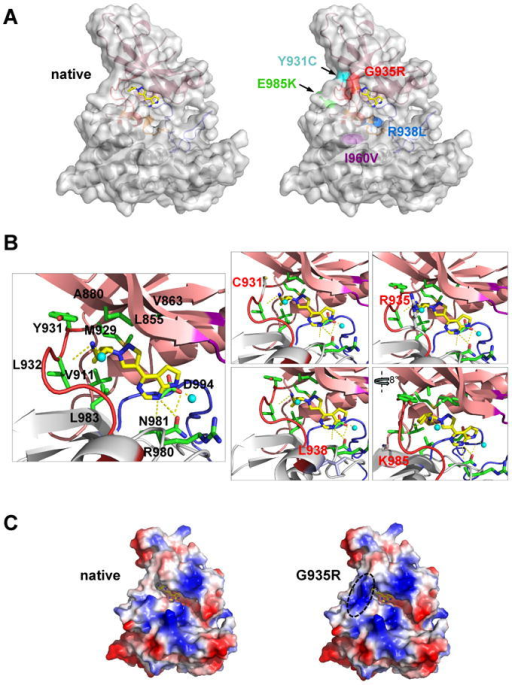 Structural analysis of JAK2V617F kinase domain mutationsA, cartoon and transparent surface representation of ruxolitinib-docked JAK2 kinase domain (A and B) (left) and JAK2 with location of point mutations that lead to drug resistance (right). N-terminal lobe (salmon), C-terminal lobe (grey), glycine loop (purple), activation loop (blue) and hinge region (red) form the boundaries for the binding site of ruxolitinib (stick representation in yellow (carbon) and blue (nitrogen)). The I960V sidechain (purple) is buried within the protein interior. B, enlarged ruxolitinib binding pocket with secondary structure elements (cartoon) and the interactions of the sidechains (labeled sticks) with the inhibitor. Hydrogen-bonds between the inhibitor and the protein are indicated as dotted yellow lines (one hydrogen-bond between backbone of Y931 and L932; and two hydrogen-bonds with R980 and N981 and pyrrolopyrimidine ring of the inhibitor; additional hydrogen bonds are with water molecules (cyan spheres)). Mutated amino acids are labeled red (right panels). C, surface electrostatic potential representation of the native (left) and G935R (right) containing JAK2 JH1 domain with ruxolitinib. Charged surfaces are displayed in shades of blue (positive), red (negative) and white (non-polar).