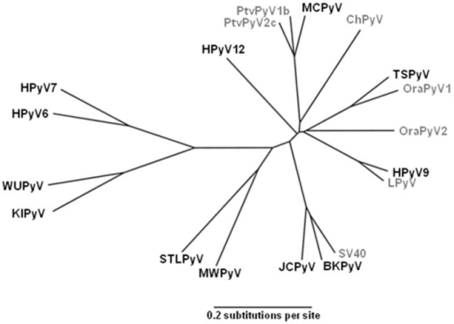 Phylogenetic relationships between human and closely related simian polyomaviruses based on VP1 protein.Human polyomaviruses are in black and simian polyomaviruses are in gray. Sequence accession numbers used are NC_001538 for BKPyV, NC_001699 for JCPyV, NC_009238 for KIPyV, NC_009539 for WuPyV, NC_010277 for MCPyV, NC_014406 for HPyV6, NC_014407 for HPyV7, NC_014361 for TSPyV, HQ696595 for HPyV9, NC_018102 for MWPyV, JX463183 for STLPyV, JX308829 for HPyV12, NC_001669 for SV40, NC_004763 for LPyV, AY691168 for ChPyV, HQ385747 for PtvPyV1b, HQ385750 for PtvPyV2c, FN356900 for OraPyV1 and FN356901 for OraPyV2.