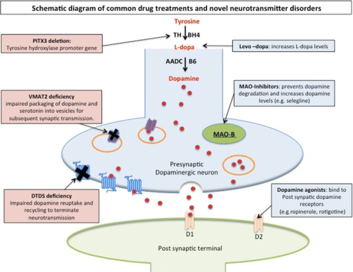 Schematic diagram dopaminergic neurotransmission and si open i schematic diagram dopaminergic neurotransmission and sites of common drug treatments and novel neurotransmitter disorders the ccuart Gallery