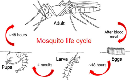 An illustration of the lifecycle of mosquitoes and potential sources of cell lines.