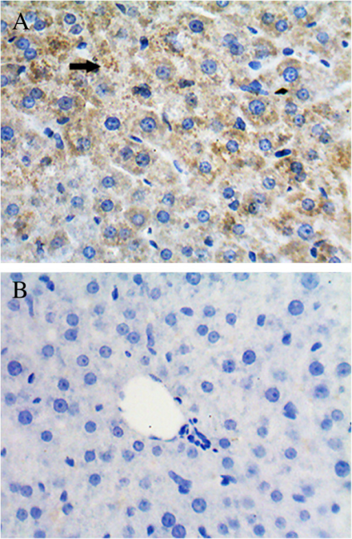 HEV antigen detecetion in the liver of a gerbil at 7 days post-infection. HEV antigen-positive signals (black arrow) were observed in the cytoplasm (A), but not seen in the negative control (B).