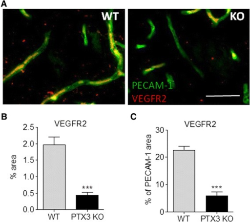 VEGFR2 is reduced in PTX3 knockout (KO) mice 14 days after middle cerebral artery occlusion (MCAo). Quantification of VEGFR2 immunostaining (red in (A)) indicate that PTX3 KO mice have a significantly reduced amount of VEGFR2 (B), even when normalised with the levels of PECAM-1 (green) (C). Scale bars = 50 μm. Students t-test (n = 4) was used. ***P <0.001. Error bars show SEM.