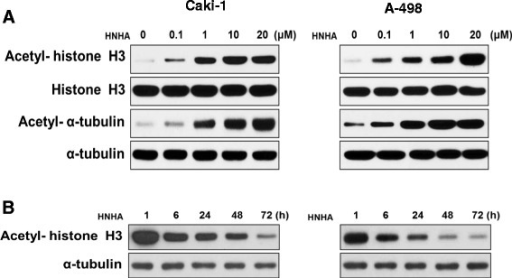 HNHA induced acetylation of histone H3 in RCC cells. Caki-1 and A-498 cells were treated for 24 h with 0.1, 1, 10, or 20 μM HNHA (A). Caki-1 and A-498 were treated with HNHA (15 μM) for 1, 6, 24, 48, or 72 h (B). Total proteins were isolated and histone H3 and α-tubulin acetylation was evaluated by Western blotting.