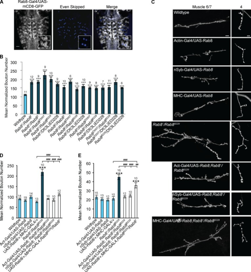 Rab8 mutants reveal a presynaptic role for Rab8 in the regulation of neuronal growth at the larval NMJ. (A) Rab8 is expressed in all Eve-positive motor neurons within the third instar larval VNC. Insets show magnification of four neurons showing coexpression of eve and Rab8 promoter–driven mCD8-GFP. Bar, 20 µm. (B) All trans-heterozygous Rab8 mutant combinations show significant synaptic overgrowth at the third instar larval NMJ (muscle 6/7, hemisegment A3). ANOVA: F(d.f. [degrees of freedom] 15) = 10.14; ***, P < 0.001 with post-hoc Dunnett's comparison to wild-type control. (C) Overgrowth can be completely rescued by global (actin-Gal4) and neuronal (n-Syb–Gal4) expression of UAS-Rab8. Muscle (MHC-Gal4) expression of UAS-Rab8 partially rescues synaptic bouton number in Rab8 mutants. Bars, 10 µm. (D) Quantification of synaptic bouton number at muscle 6/7, hemisegment A3. ANOVA: F(d.f. 7) = 36.8975; ***, P < 0.001 with post-hoc Dunnett's comparison to wild-type control, and post-hoc Student's t test comparison between groups; ###, P < 0.001. (E) Quantification of synaptic bouton number at muscle 4, hemisegment A3. (ANOVA: F(d.f. 7) = 19.95; ***, P < 0.001 with post-hoc Dunnett's comparison to wild-type control, and post-hoc Student's t test comparison between groups; ###, P < 0.001; ##, P < 0.01. Numbers above bars = n. Error bars show SEM.