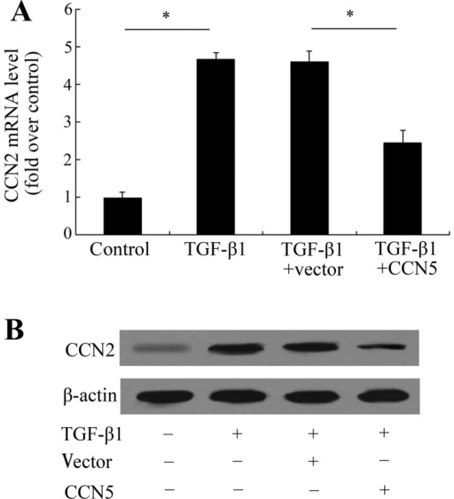 CCN5 overexpression attenuates CCN2 levels. Following transfection with the recombinant CCN5, the cells were stimulated with transforming growth factor-β (TGF-β1). The expression levels of CCN2 mRNA (A) and protein (B) were detected by RT-PCR and western blotting, respectively. *P<0.05.