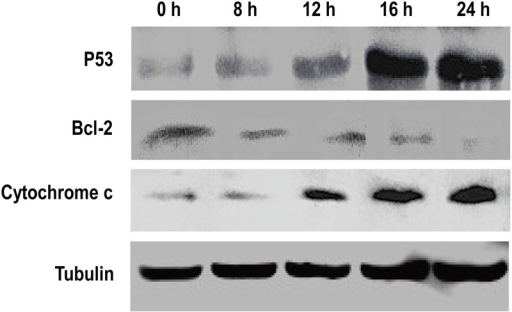 Effects of H2O2 exposure on the expression of apoptosis-related proteins in BmN-SWU1 cells.The band intensities reflect the expression levels of proteins after treatment with H2O2. Tubulin was used as an internal control.