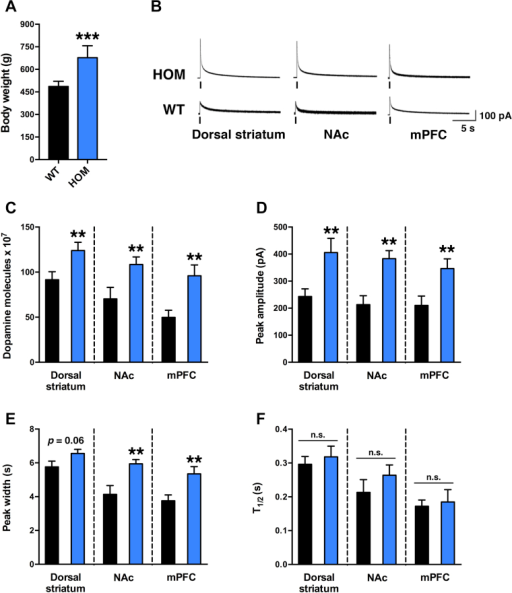 Increased electrically-stimulated DA release in VTA projection targets during MC4R-deficiency. (A) Body weight of sedentary WT and HOM rats at time of amperometry studies. (B) Representative amperometric traces of electrical stimulation-evoked DA release in the dorsal striatum, nucleus accumbens shell (NAc) and medial prefrontal cortex (mPFC) from coronal slices of sedentary HOM rats (top) and WT littermate controls (bottom; electrical stimulation is indicated by vertical line). (C) Mean number of molecules released per stimulation, (D) mean evoked DA-event amplitude, and (E) DA-event peak width from the dorsal striatum, NAc and mPFC were significantly higher in brain slices from HOM rats (n = 34, 28 and 18 slices for each region, respectively, from 6 animals) than from WT littermate controls (n = 33, 25, and 22 slices for each region, respectively, from 6 animals). Peak width in the dorsal striatum of HOM rats trended to be higher (p = 0.06). (F) T1/2 (duration of the signal at 50% of its amplitude) did not differ among genotypes in any of the tested brain regions. *p < 0.05, **p < 0.01, ***p < 0.0005, WT versus HOM, n.s., not significant.
