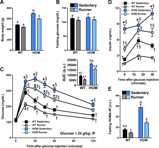 Moderate voluntary exercise improves glucose tolerance and insulin sensitivity in HOM rats. (A) Body weight during ipGTT, (B) fasting blood glucose, (C) blood glucose before (0) and following (15, 30, 45, 60, and 120 min) an i.p. injection of 1.25 g/kg glucose, (C, insert) blood glucose as area under the curve (AUC), (D) plasma insulin before (0) and following (15, 30 min) glucose bolus injection, and (E) fasting HOMA-IR values of WT and HOM littermate rats without (sedentary) or with (runner) free access to running wheels for 4.5 wk (n = 12–14/group). Different letters indicate significant difference as following: a,b,cp < 0.05, genotype × treatment interaction; d,ep < 0.05, effect of treatment; f,gp < 0.05, effect of genotype. *p < 0.05, vs. WT sedentary, †p < 0.05, vs. HOM sedentary, §p < 0.05, vs. WT wheel-runner.