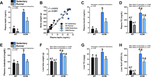 Moderate voluntary exercise decreases hyperleptinemia and normalizes hypercholesterolemia and hepatic steatosis in HOM rats. (A) Plasma leptin, (B) correlation analysis of final body weight and plasma leptin, (C) plasma insulin, (D) plasma triglycerides (TG), (E) plasma cholesterol, (F) liver lobe weight, (G) hepatic TG levels (n = 7/group), and hepatic (H) Scd1 mRNA expression (n = 12–14/group) of WT and HOM rats without (sedentary) or with (runner) free access to running wheels for 5 wk. Different letters indicate significant difference as following: a,b,cp < 0.05, genotype × treatment interaction; d,ep < 0.05, effect of treatment; f,gp < 0.05, effect of genotype.
