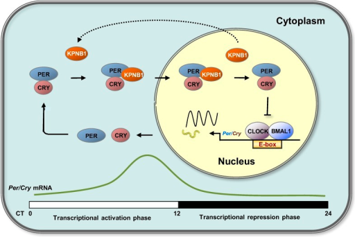 Proposed model for KPNB1 function in nuclear translocation of PERs/CRYs controlling negative feedback regulation of the molecular clock.KPNB1 directly associates with PERs/CRYs and guides their nuclear entry thus facilitating negative feedback repression of CLOCK/BMAL1-mediated transcription of the repressor genes.DOI:http://dx.doi.org/10.7554/eLife.08647.017