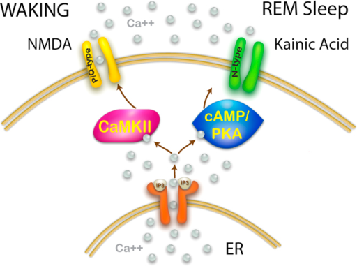 Intracellular pathways modulated by different glutamatergic receptors that drive independent calcium channel types. As discussed above, a wealth of information is available to suggest that NMDA promotes waking in the PPN and that this effect is mediated by CaMKII, and that kainic acid promotes REM sleep and that this effect is mediated by cAMP/PKA. Both of these pathways interact with the release of calcium from the endoplasmic reticulum (ER) induced by inositol phosphate 3 (IP3) release from the membrane and binding to the IP3 receptor. In addition, P/Q-type channels are modulated by CaMKII while N-type channels are modulated by cAMP/PKA. This points to a selective participation of P/Q-type channels in generating gamma band activity during waking, and N-type channels generating gamma band activity during REM sleep.